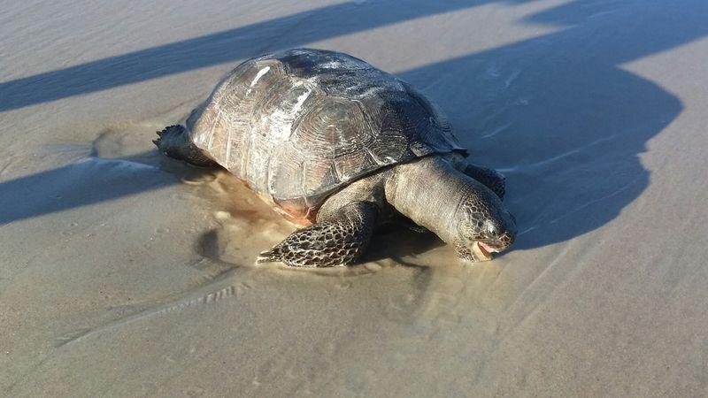 Gopher_tortoise_Daytona_beach