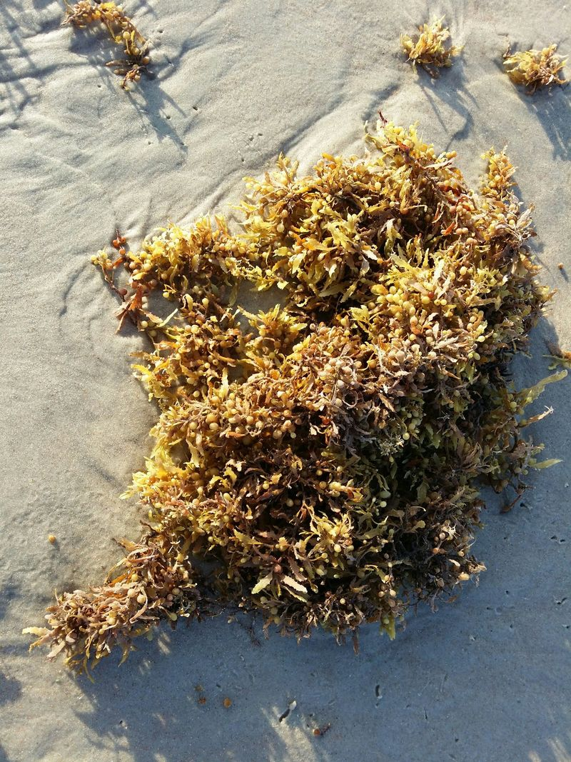 Daytona-beach-seaweed