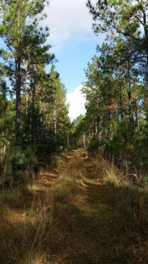 Longleaf-pine-preserve